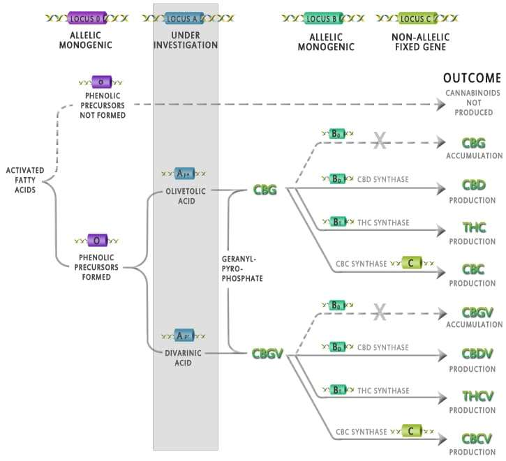 Biosynthèse des cannabinoïdes