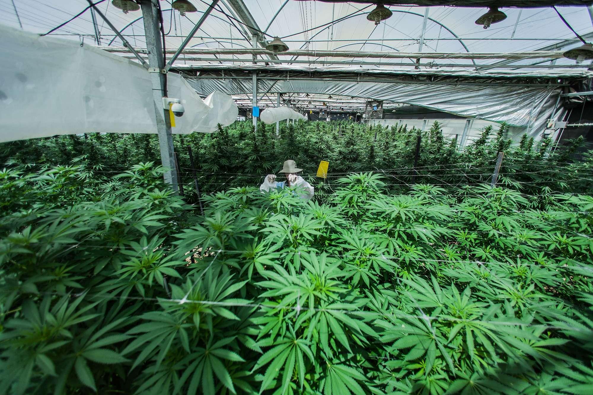 Le cannabis et le cancer : du mythe à la réalité