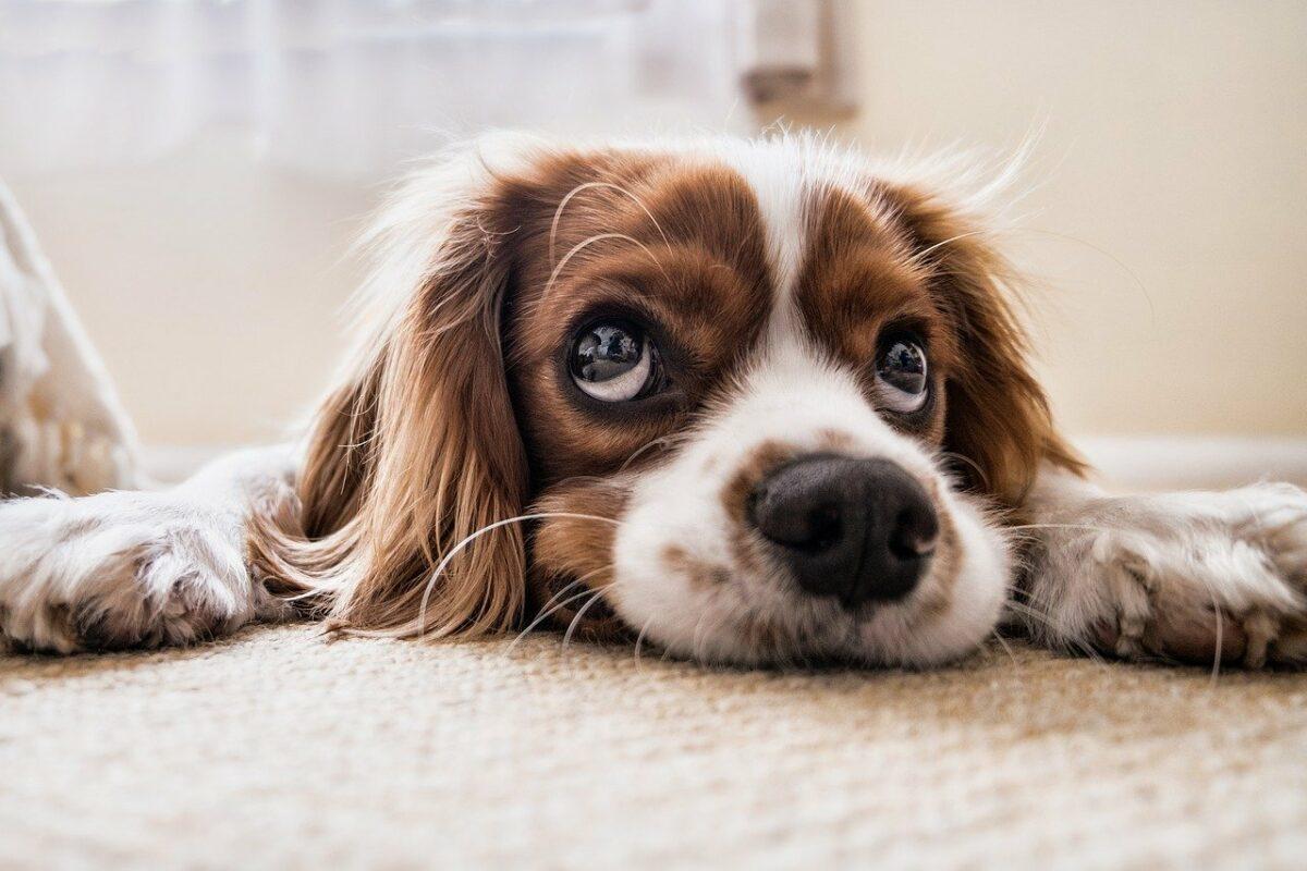 cbd chien arthrite